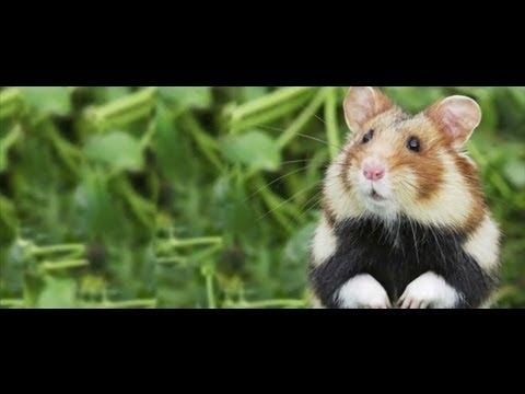 Il faut sauver le grand hamster