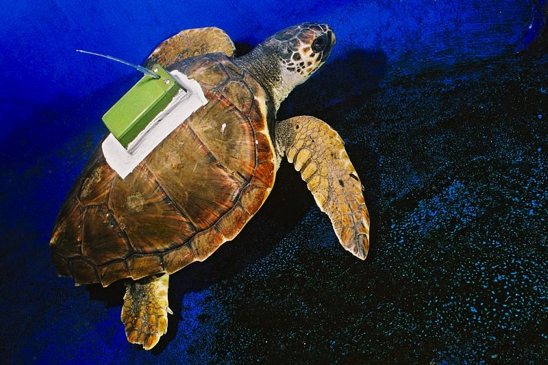 Loggerhead turtle tagged with an Argos transmitter. Credits: CNES.